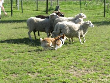 Sheep Dog 9