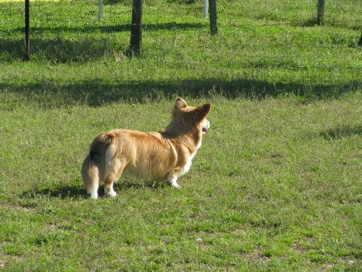 Sheep Dog 7
