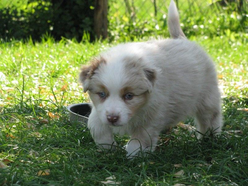 Cuccioli australian shepherd 6