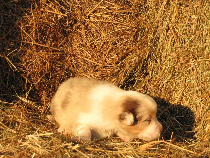 Cuccioli australian shepherd 7