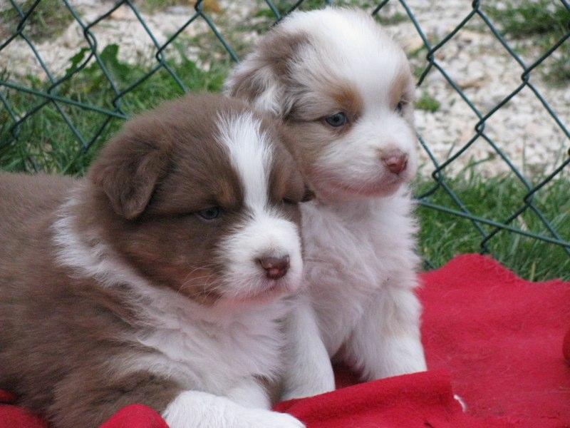 Cuccioli australian shepherd 11