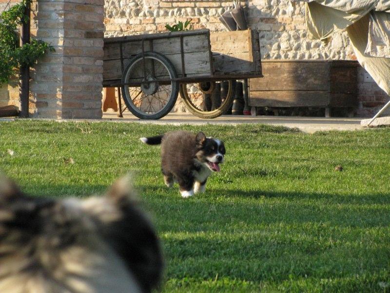 Cuccioli australian shepherd 12