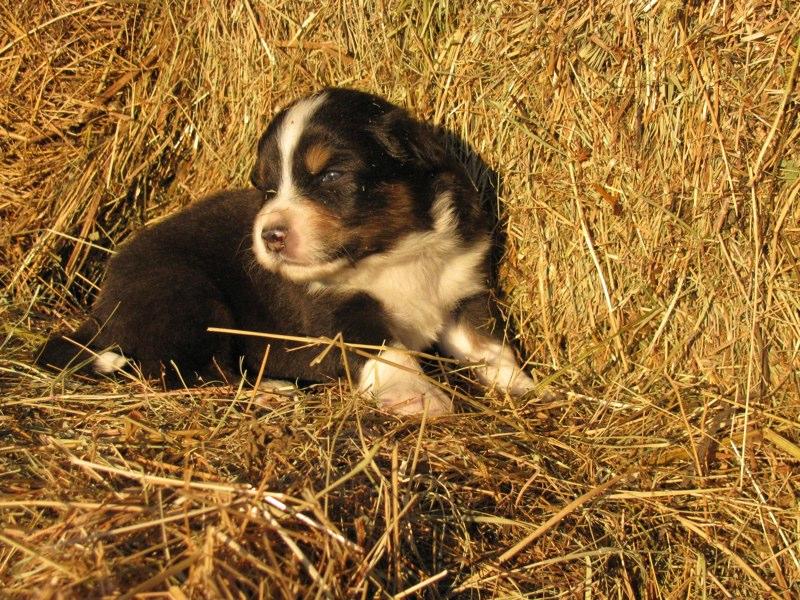 Cuccioli australian shepherd 14