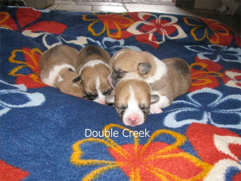 cucciolata e Welsh Corgi Pembroke double creek 1