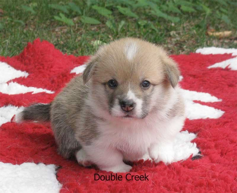 cucciolata e Welsh Corgi Pembroke double creek 3