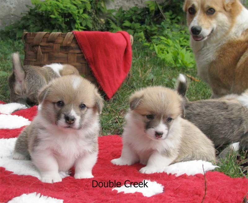 cucciolata e Welsh Corgi Pembroke double creek 4
