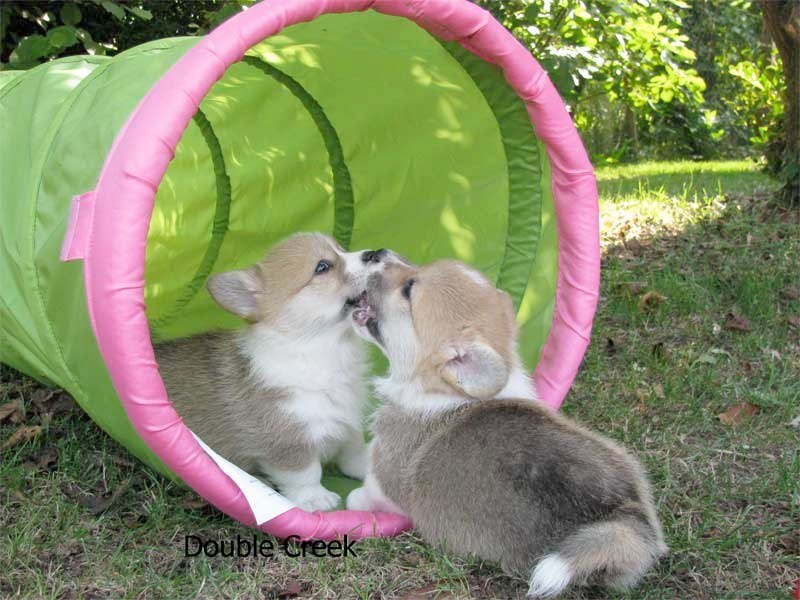 cucciolata e Welsh Corgi Pembroke double creek 5