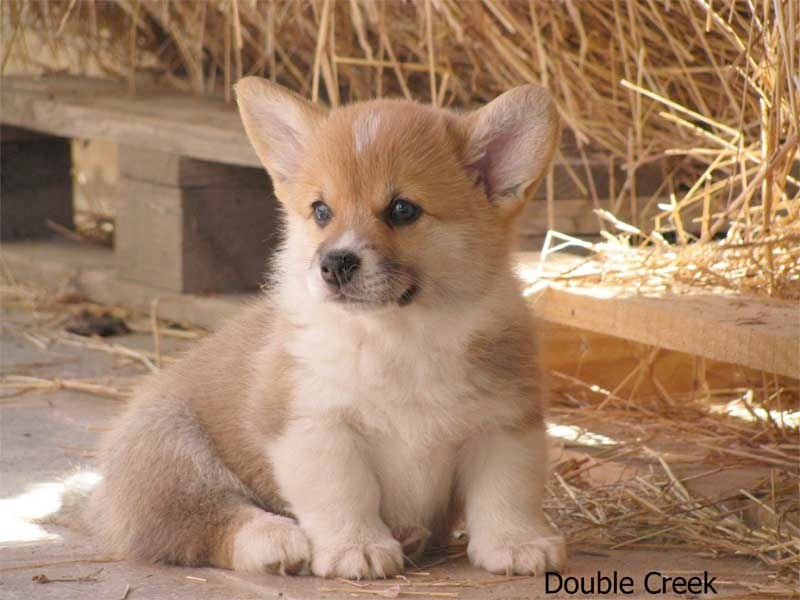 cucciolata e Welsh Corgi Pembroke double creek 7