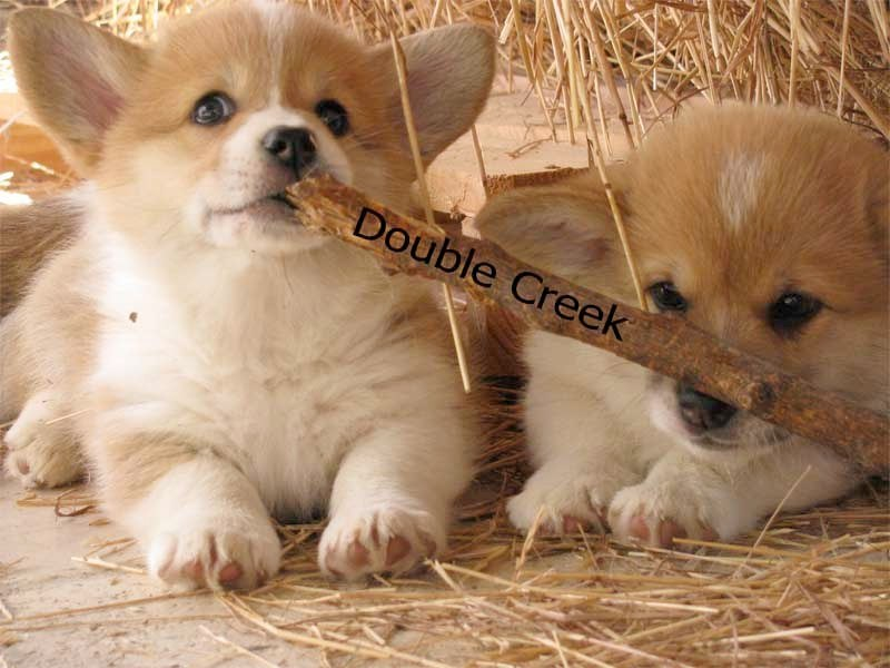 cucciolata e Welsh Corgi Pembroke double creek 8