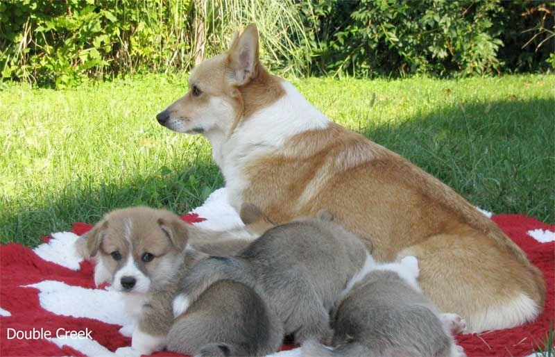 cucciolata e Welsh Corgi Pembroke double creek 9