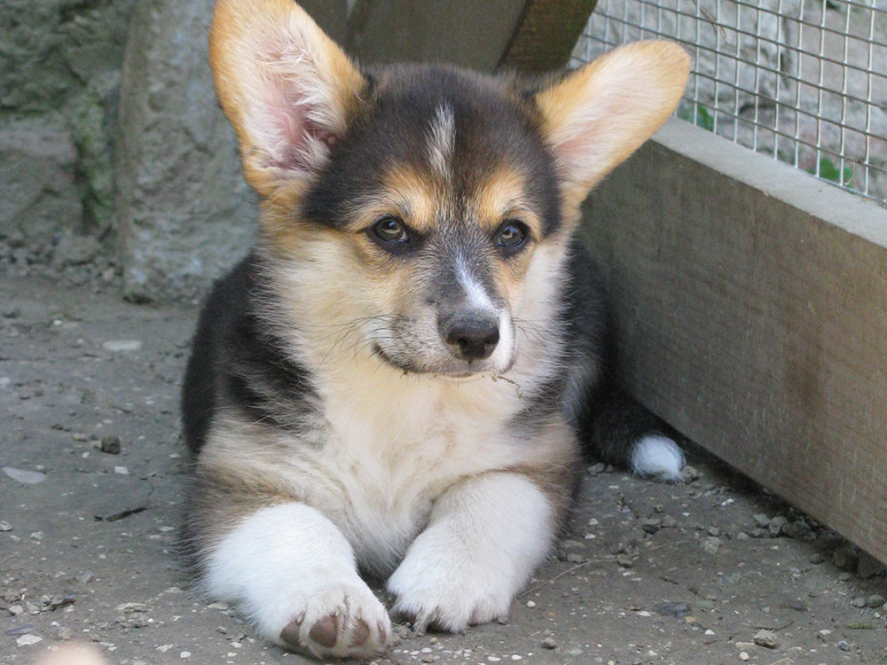 cucciolata f Welsh Corgi Pembroke double creek 10
