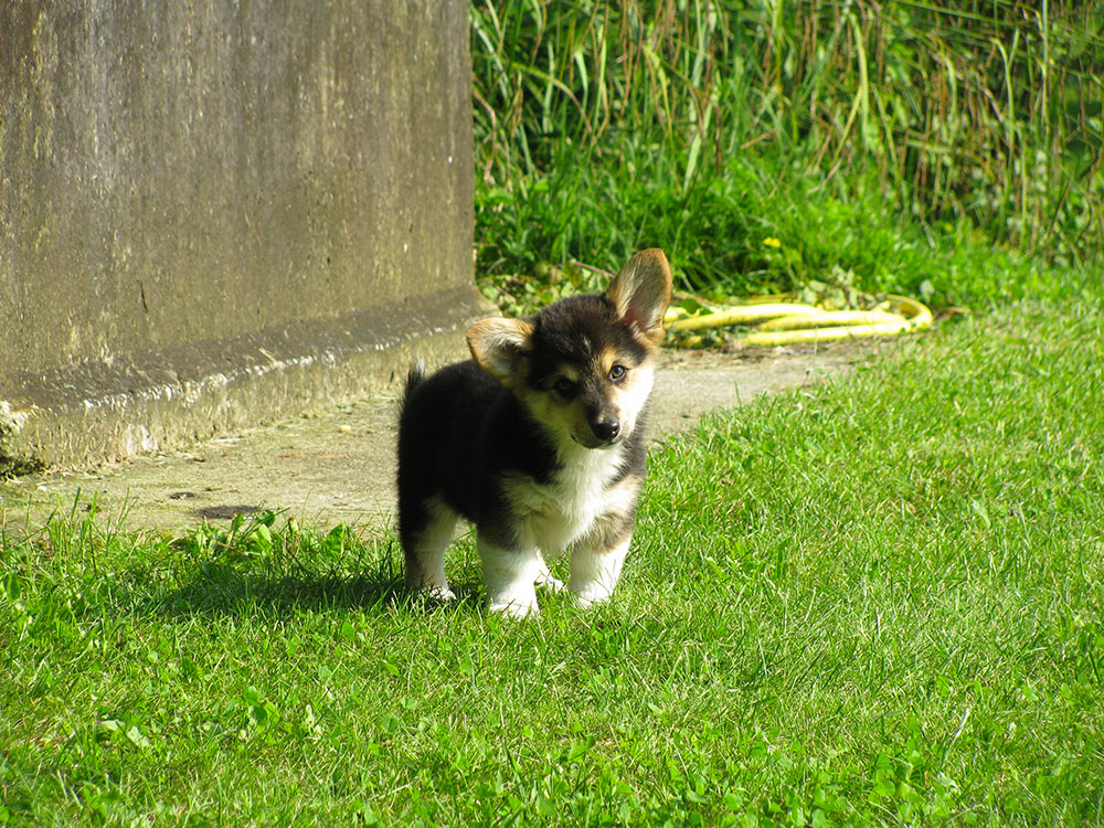 cucciolata f Welsh Corgi Pembroke double creek 2