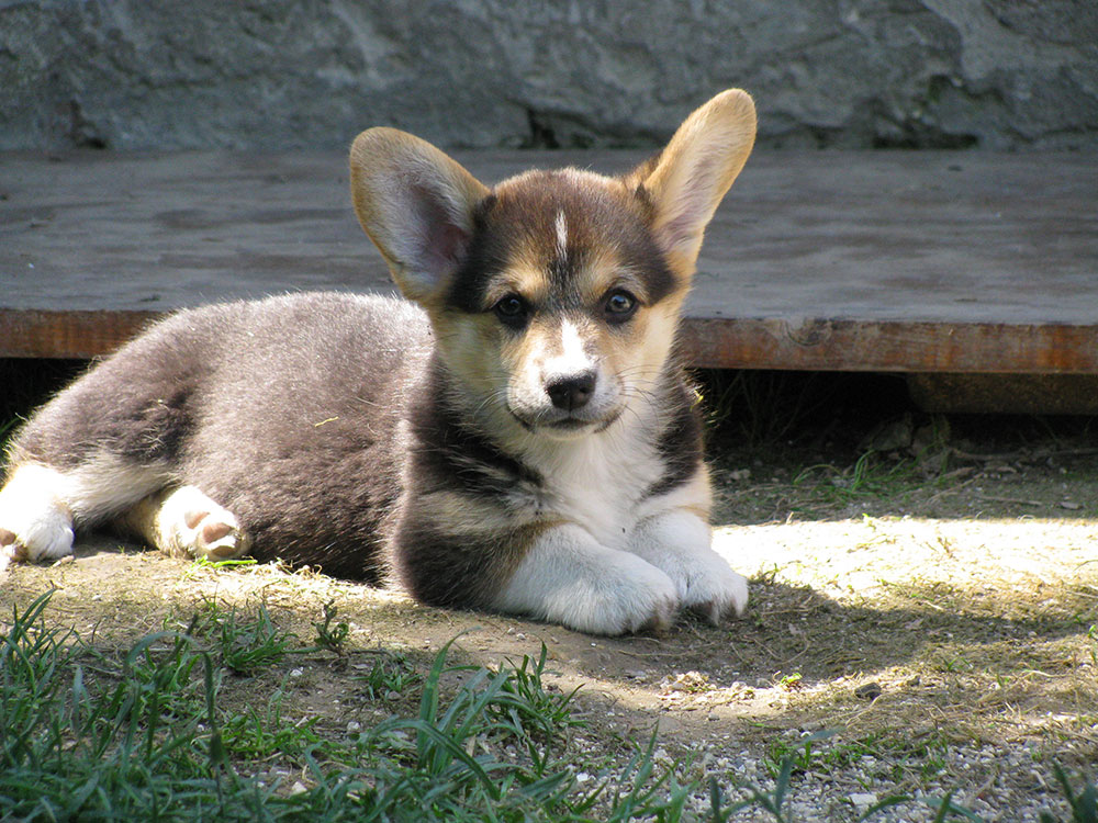 cucciolata f Welsh Corgi Pembroke double creek 7