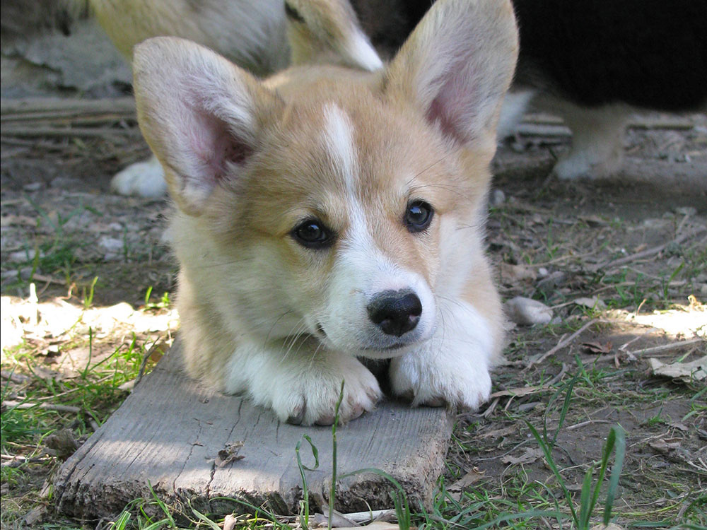 cucciolata f Welsh Corgi Pembroke double creek 8