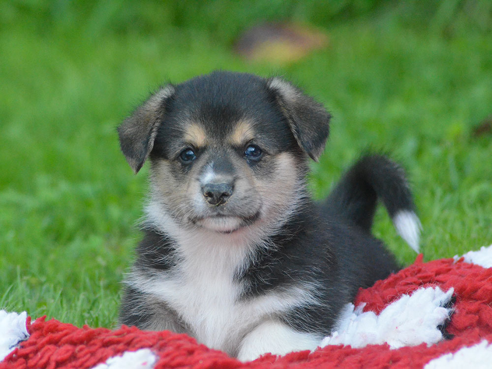 cucciolata h Welsh Corgi Pembroke double creek 5