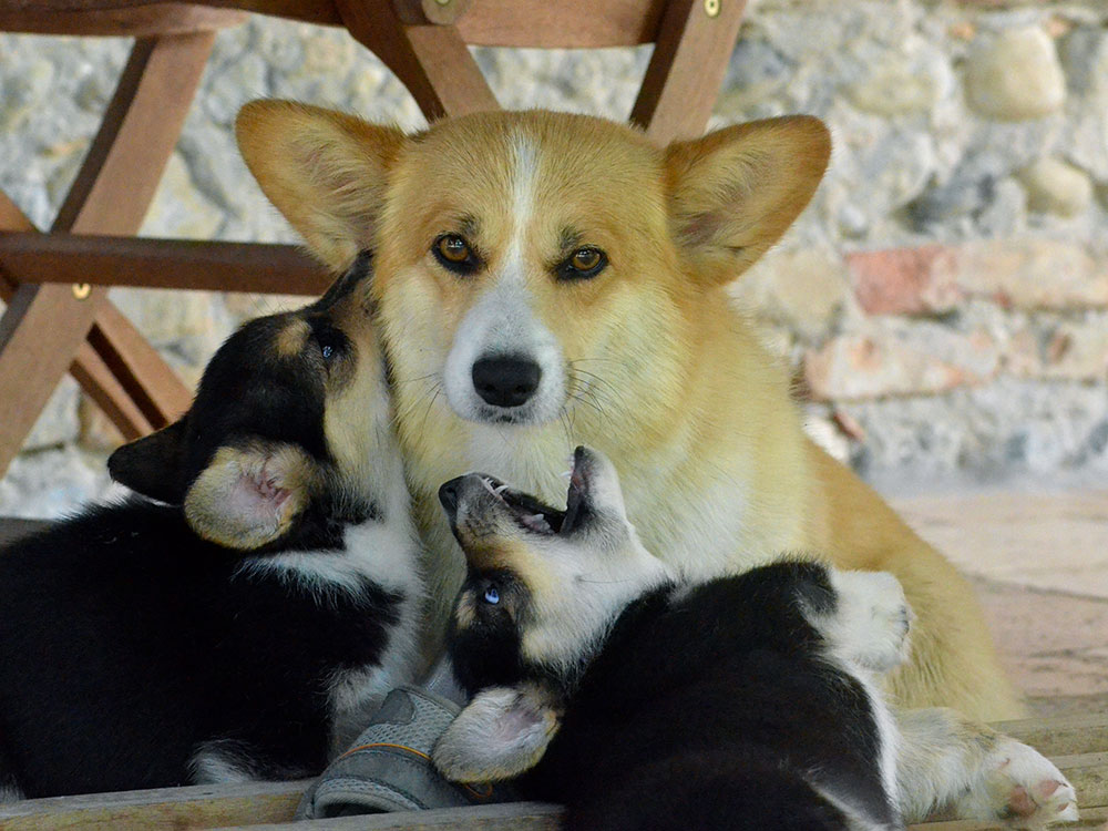 cucciolata h Welsh Corgi Pembroke double creek 8