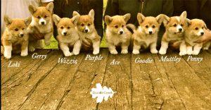 cuccioli welsh corgi pembroke, welsh corgi pembroke puppies