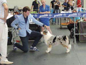 Australian Shepherd puppies, cuccioli Australian Shepherd