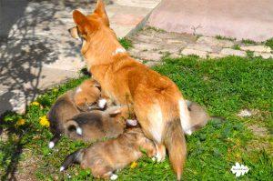 cuccioli corgi, welsh corgi pembroke puppies