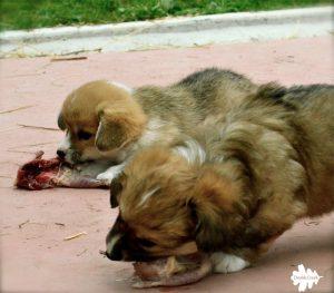 welsh corgi puppies, cuccioli corgi, dieta barf, barf diet, dieta raw, raw diet, alimentazione naturale