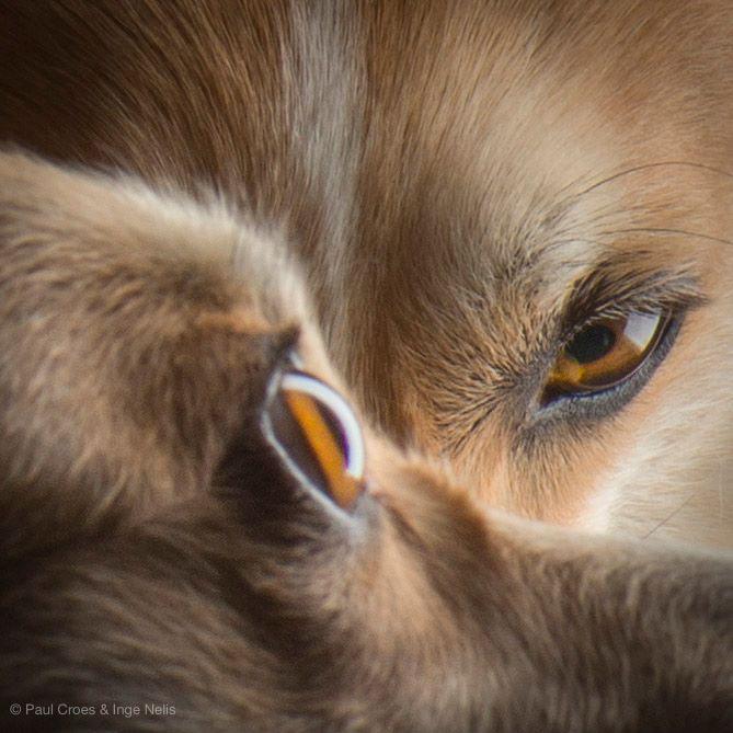Welsh corgi pembroke, corgi puppies, Paul Croes,Double Creek