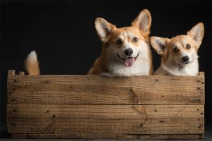 Corgi puppies, Double Creek, Paul Croes, Welsh corgi pembroke puppies, Corgi cuccioli