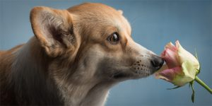 Corgi puppies, Double Creek, Paul Croes, Welsh corgi pembroke puppies, Corgi cuccioli