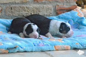 cuccioli australian shepherd, australian shepherd aussie puppies