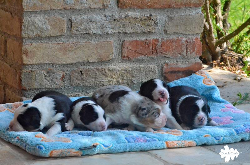 cuccioli australian shephed, australian shepherd puppies