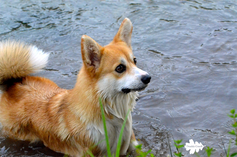 Double Creek 's Corgi