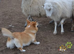 Welsh Corgi Pembroke, Sheepdog, Corgi Puppy