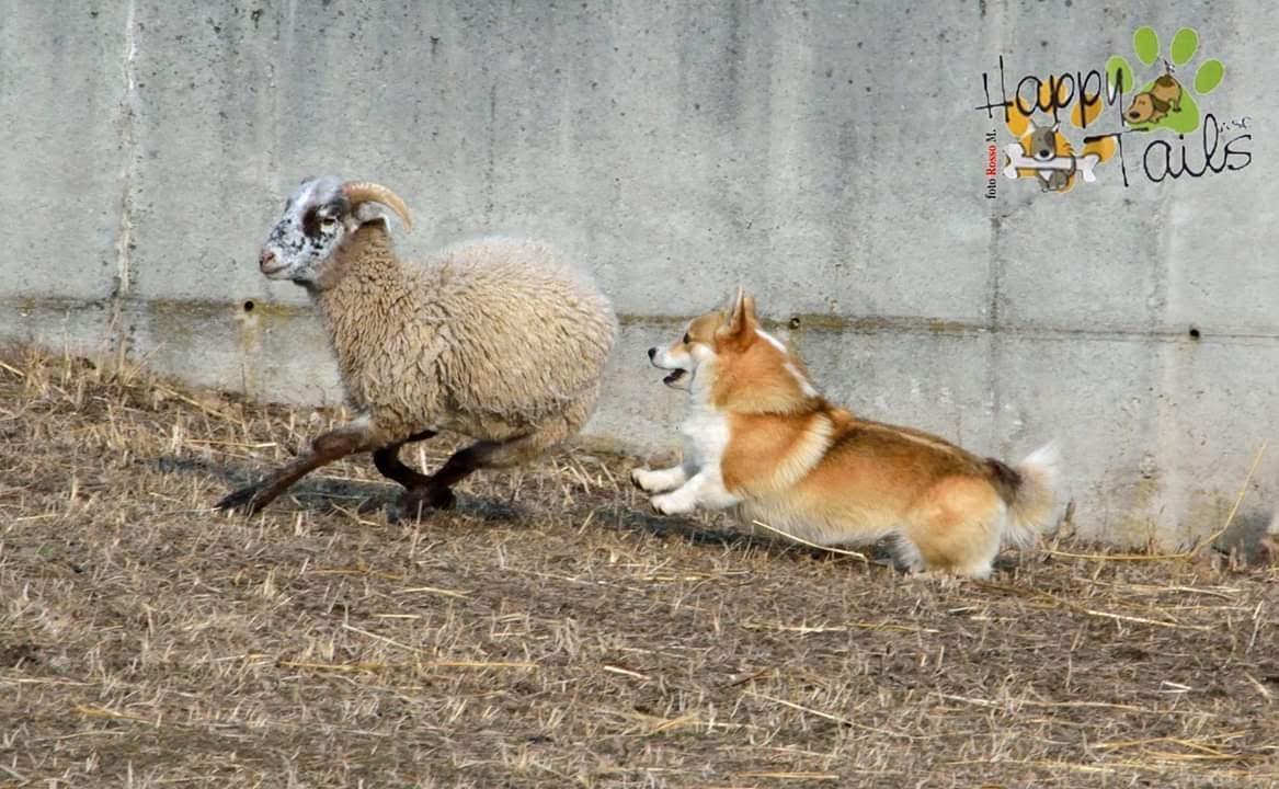 Welsh Corgi Pembroke, Sheepdog, Corgi Puppy