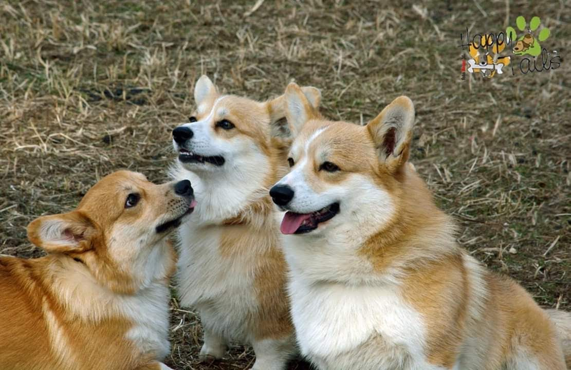 Welsh Corgi Pembroke, Sheepdog, Corgi Puppy, Corgi Smile